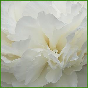 R2Pioenrozen -  Bowl of Cream