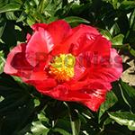 Paeonia hybrid America