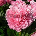 Pioenroos Carnation Bouquet