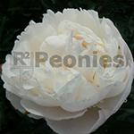 Pioenroos Gardenia