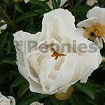 Pioenroos Lactiflora Krinkled White
