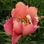 Pioenroos Itoh Old Rose Dandy