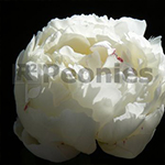 Pioenroos Lactiflora Snow Mountain