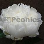 Pioenroos White Ivory