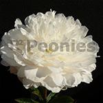 Pioenroos White Sarah Bernhardt