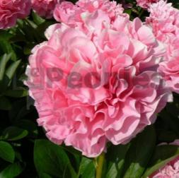 R2Pioenrozen - Pioenroos Hybrid Carnation Bouquet